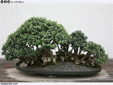 potatura azalea in vaso bonsai olivo