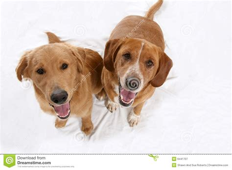 looking for free puppies two golden dogs looking up at photographer royalty free stock photography image 6441707