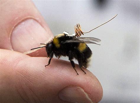 bumblebee bug www imgkid com the image kid has it