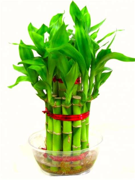 lucky home lucky bamboo for feng shui