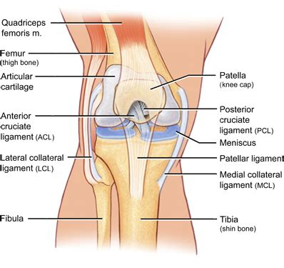 parts of knee diagram orthopedic surgeon premier orthopaedics part 2