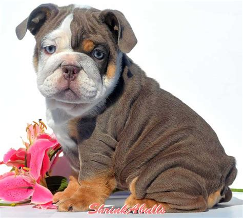 tri color bulldog puppies for sale akc blue tri bulldog puppies for sale purple lilac tri bulldog