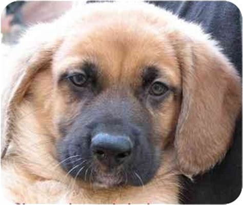 golden retriever mastiff mix puppies tank sherman tank adopted puppy poway ca golden retriever mastiff mix