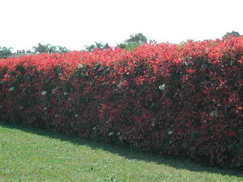 Photinia Robin 21 by Photinia Robin Photinia Robin Gardens And Plants