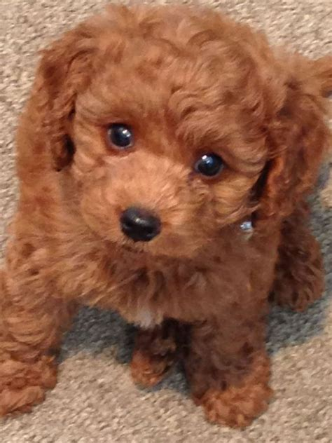 mini labradoodles rescue halton labradoodle s mini puppy animalssss that i