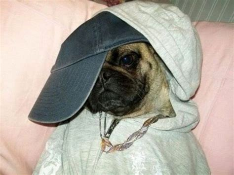 gangster pug gangsta pug daily picks and flicks