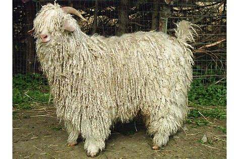your wools lambswool angora and more - Angora Mohair