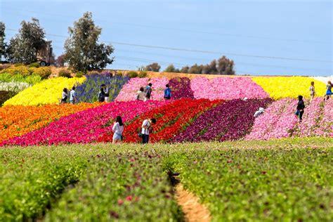 Visiting The Carlsbad Flower Fields San Diego Flower Garden