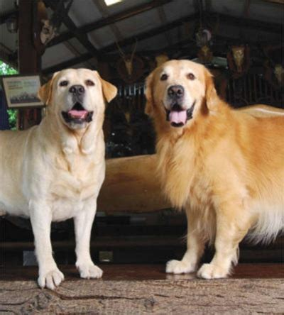 labs vs golden retrievers golden retriever vs labrador about animals