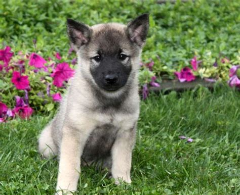 elkhound puppies elkhound puppies breeds picture