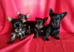teacup yorkie puppies for sale melbourne teacup yorkie puppies for sale