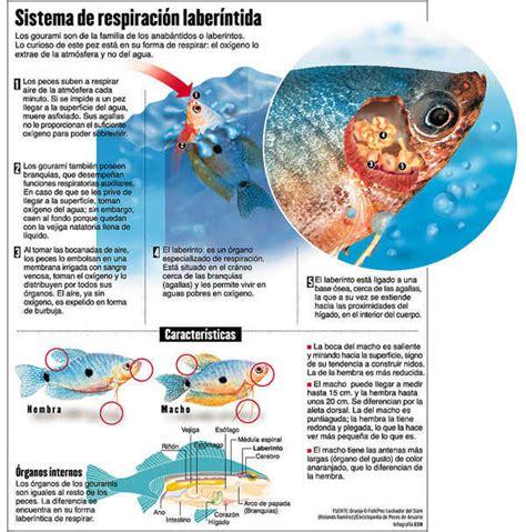 los peces de la 8483835460 respiraci 211 n en los peces 171 resistenciarock