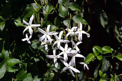 fiori gelsomino quali fiori scegliere per il balcone di primavera casa it