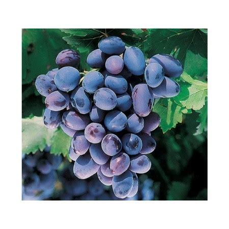 uva da tavola nera 1 pianta di uva nera vendita piante di uva