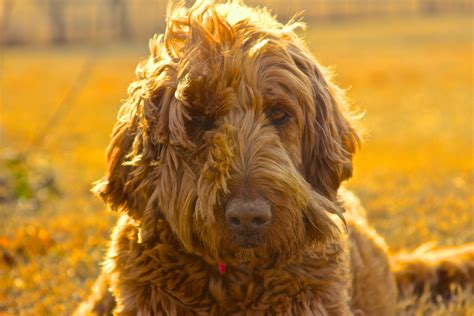 goldendoodle club of america goldendoodle club of america what makes a breeder