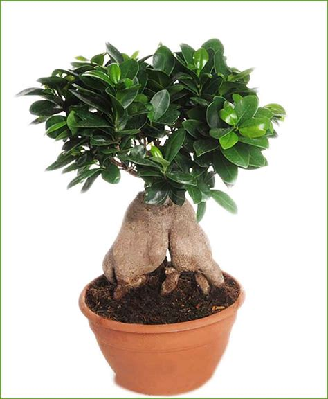 Sho Natur Gingseng ficus microcarpa 4000 grams bonsai ficus ginseng bonsai
