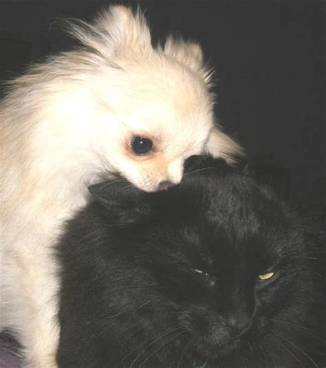 Small White Pomeranian Puppy Attacking Cat In Black Jpg Hi Res 720p Hd