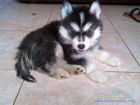 Siberian Husky Jantan dunia anjing jual anjing siberian husky husky jantan