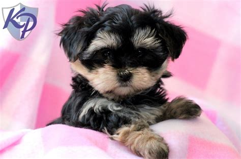morkie puppies for sale indiana morkie pics photograph dolly 226 morkie puppies fo