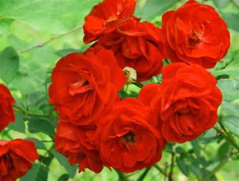 gambar wallpaper bunga rose gambar setangkai bunga nusa indah auto design tech
