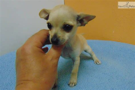 free teacup puppies near me chihuahua puppy for sale near los angeles california ed9a2af3 c0d1