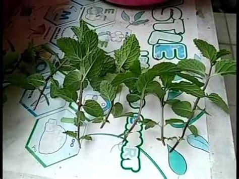 menanam mint hidroponik cara menanam tanaman mint di pot polybag aigarden doovi