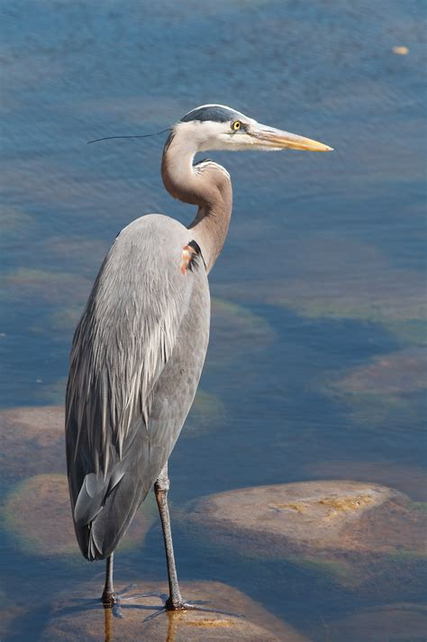 Great Blue Heron Octobia S Blog Blue Heron Meaning