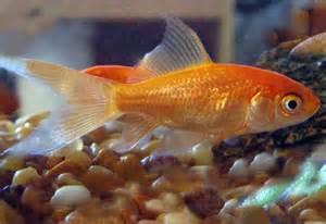 comet goldfish tank   Goldfish Profiles