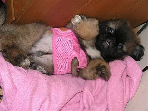 want ad digest puppies 1000 ideas about pekingese puppies for sale on pekingese puppies