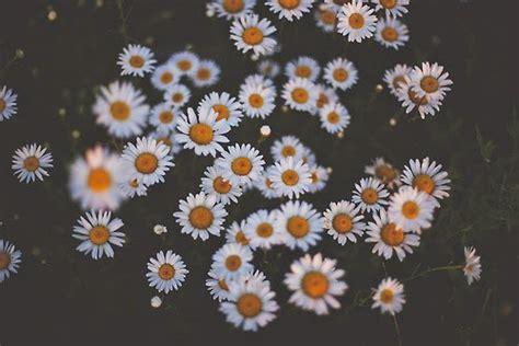 imagenes tumblr margaritas flores nacionales italia margaritas