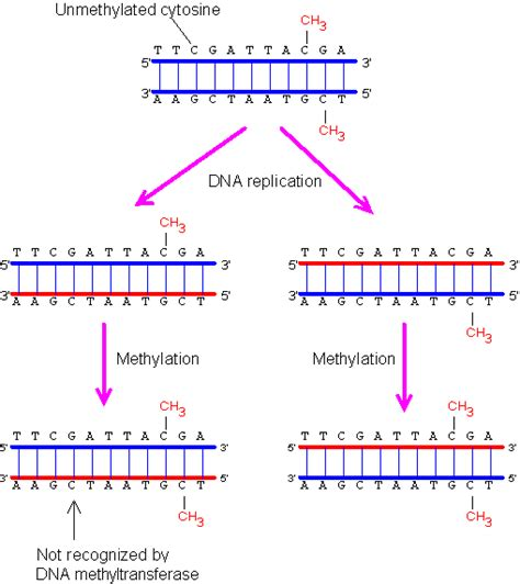 pattern marker definition methylated d 233 finition what is