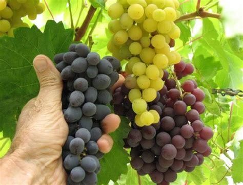 menanam anggur hidroponik cara menanam anggur dari biji dalam pot yang benar