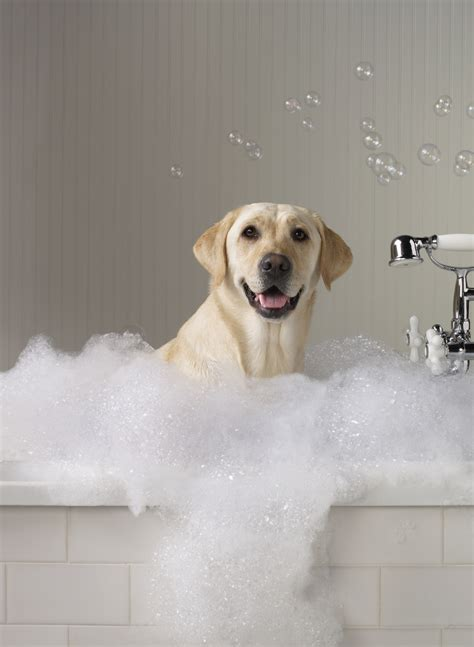 dog in bathtub grooming available at grovedale bellarine veterinary