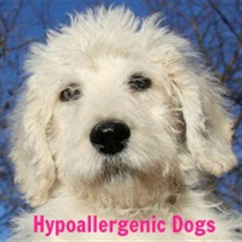 all hypoallergenic dogs hypoallergenic dogs who are they