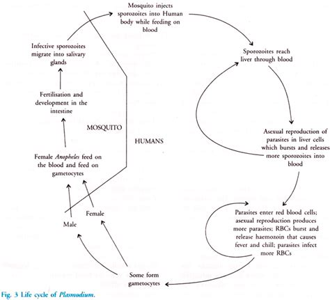 pathophysiology of malaria diagram cycle of plasmodium with diagram malaria human