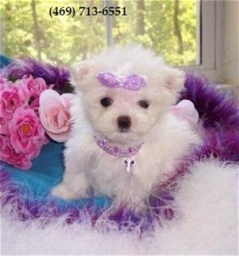 yorkie puppies for sale in springfield ma dogs springfield ma free classified ads