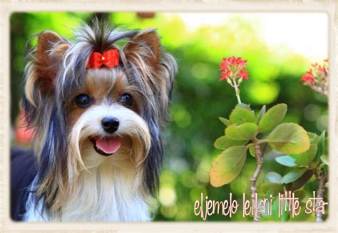 yorkies south africa terrier association south africa photo