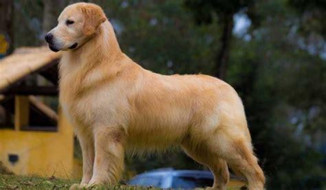 golden retriever pelo golden retriever web cachorros