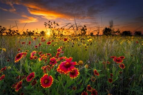 texas wildflowers  sunset sunsets nature background