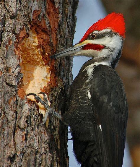 pileated woodpecker birdwatching