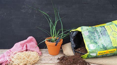 knoblauch pflanzen und ernten 4635 knoblauch anbauen stecken pflanzen und ernten plantura