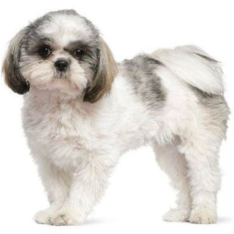groomingtipsforshih poos cuts 67 best images about shih tzu pix on pinterest chaka