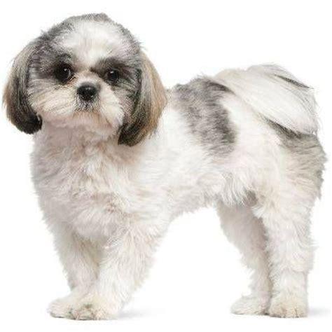 shihpoo puppy cut 67 best images about shih tzu pix on pinterest chaka
