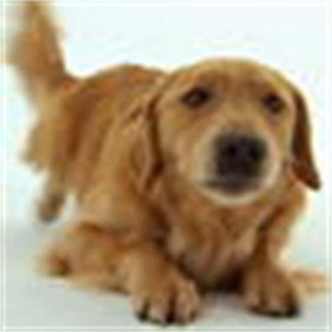 golden retriever mobile al adopt a golden retriever breeds petfinder