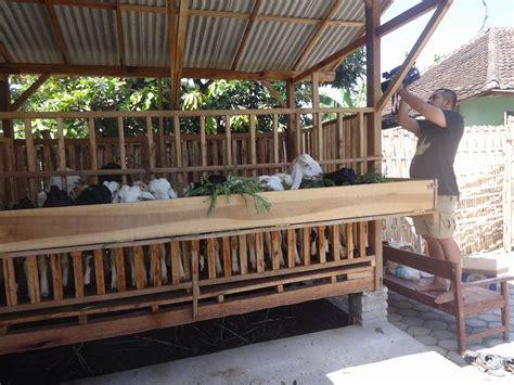 Jual Bibit Kambing jual bibit kambing etawa dan domba di indonesia