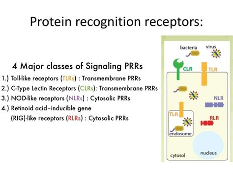 importance of pattern recognition receptors overview of immune system презентация онлайн