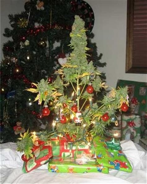 christmas tree kush un buen 225 rbol de navidad