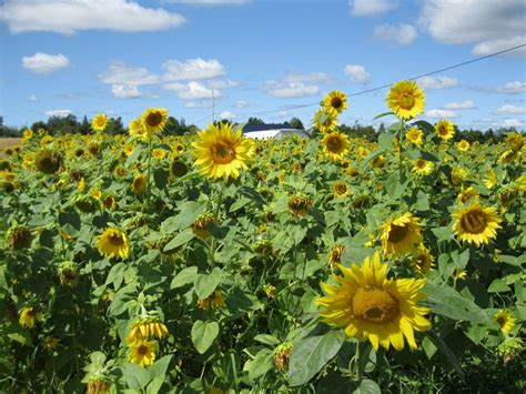 sunflower field off route 15 in northern new jersey near sparta 22 best images about aroostook county presque isle
