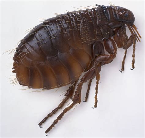 how to rid fleas in house how to get rid of fleas how to build a house