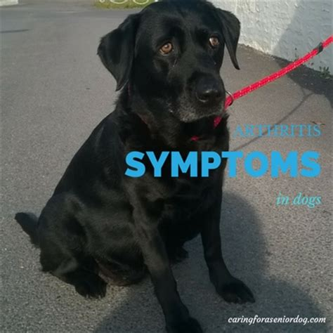 signs of arthritis in dogs arthritis symptoms in dogs caring for a senior
